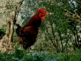 Красный петух плимутрок