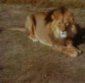 Лев ушел из дома